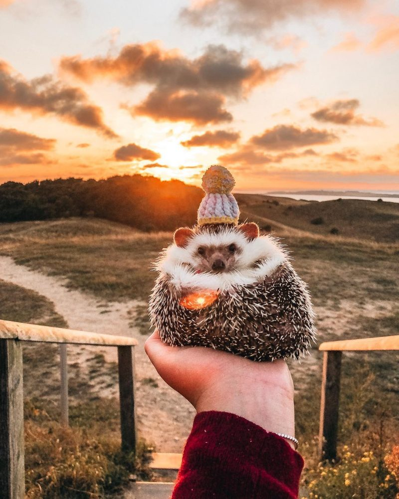 Mr. Pokee the Hedhehog afriski jezek