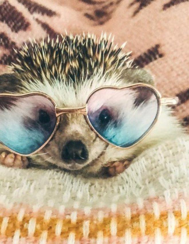 Nova internetna zvezda, ježek Mr. Pokee